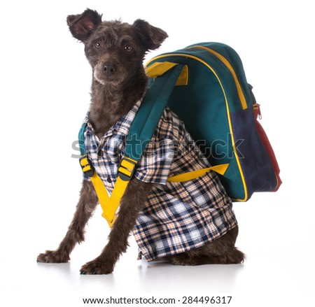 dog obedience - mixed breed wearing plaid shirt and backpack on white background - stock photo