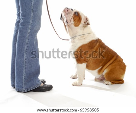 dog obedience training - english bulldog looking up watching handler on white background - stock photo