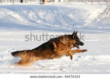 Dog of breed a German shepherd running in deep snow - stock photo