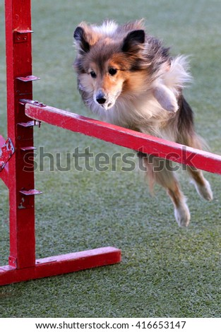 Dog of breed  Shetland sheepdog, Sheltie at training on Dog agility