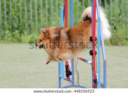 Dog of breed the spitz at training on agility - stock photo