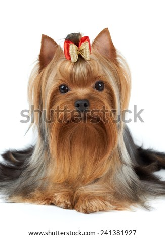 Dog of show class. Yorkshire terrier isolated on white. - stock photo