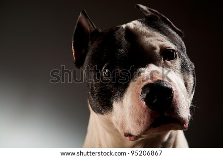 Dog of the American staffordshire breed  studio shot lack background - stock photo