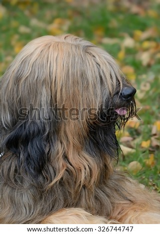 Dog of the breed Briard  - stock photo