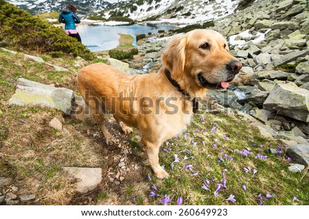 Dog on a Mountain Field with Crocuses by a mountain lake and pile of Rocks - stock photo