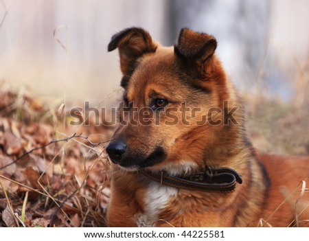 Dog on a nickname Red - the loyal friend and the reliable watchman - stock photo