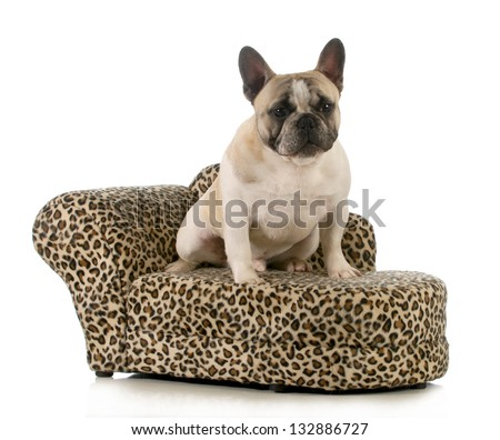 dog on couch - french bulldog sitting on dog couch isolated on white background - 8 months old - stock photo