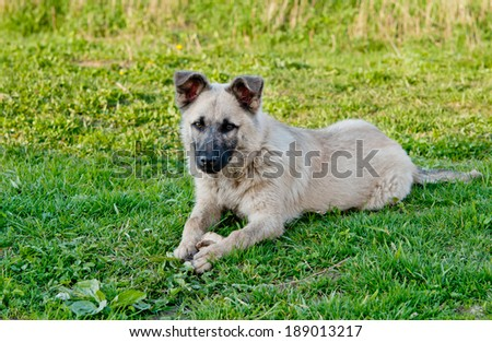 dog on green lawn close up - stock photo