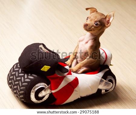 Dog on motorcycle - stock photo
