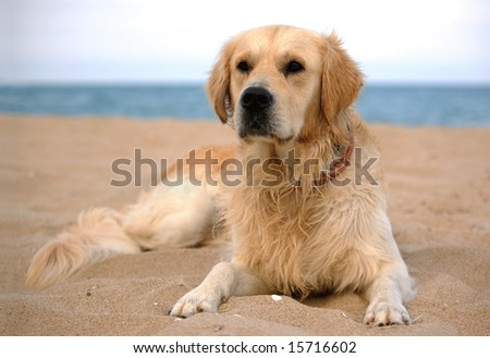 dog on the beach - golden retriever, a full-length portrait - stock photo