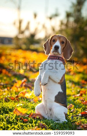 dog on the street. Autumn, the beagle, flowers - stock photo