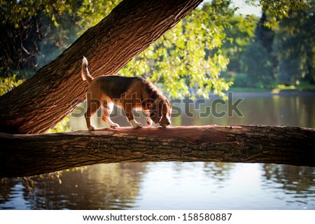 dog outdoors. beagle - stock photo