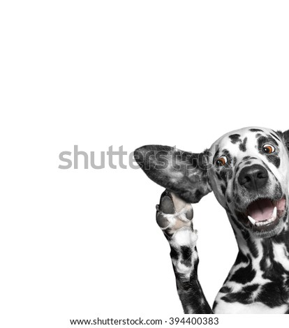 dog overhear with interest with a big ear - stock photo