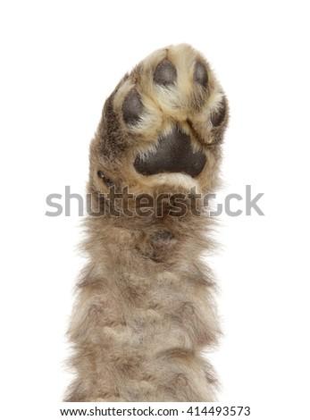 Dog paw isolated on white background - stock photo