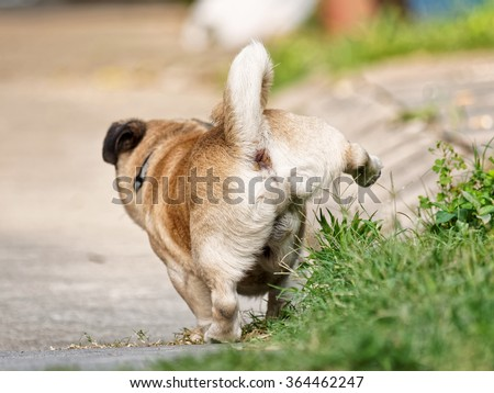Dog pee standing up, viewed from backwards. - stock photo