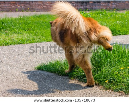 dog pissing on a green lawn - stock photo