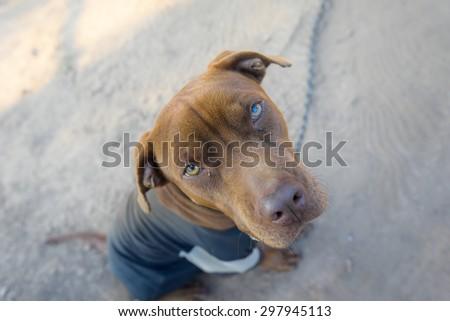 dog pitbulls - stock photo
