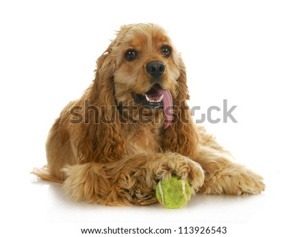 dog playing ball - american cocker spaniel with paw on a tennis ball isolated on white background - stock photo
