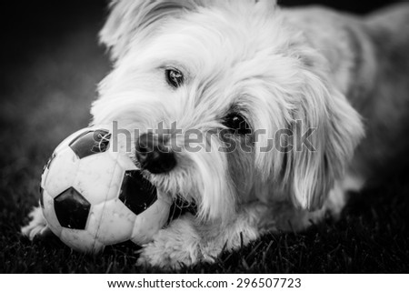 Dog playing in the garden with bis ball. Close up - stock photo