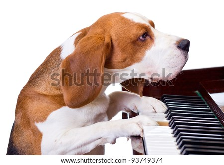 Dog playing the piano,white background. - stock photo