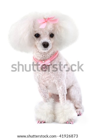 Dog Poodle - stock photo