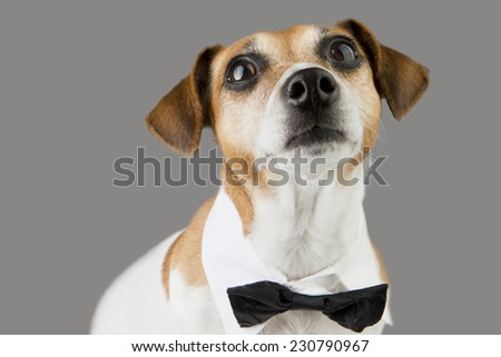 Dog portrait looks up with a tie. Gray background. Studio shot - stock photo