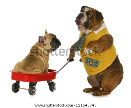 dog pulling a wagon - english bulldog pulling a wagon with a french bulldog in it on white background - stock photo