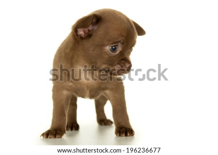 Dog, puppy brown color stands - stock photo