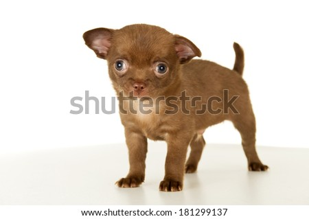 Dog, puppy chihuahua brown color stands - stock photo