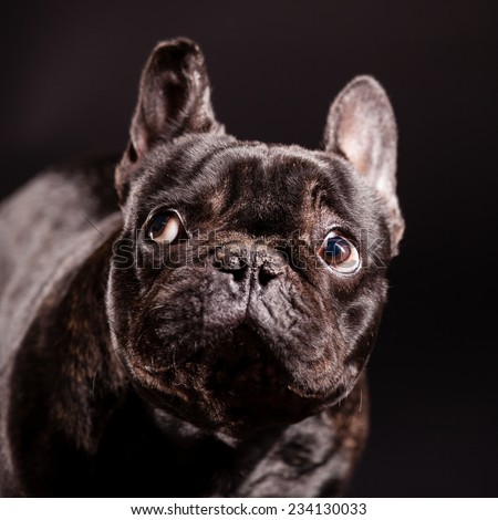 dog puppy french bulldog on a dark background - stock photo