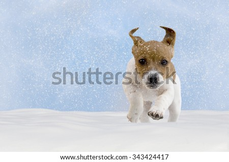 Dog, puppy, jack russel terrier playing in the snow with blue sky - stock photo