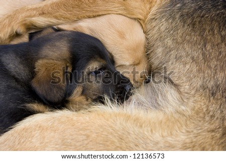 Dog puppy lying beside his mother - stock photo