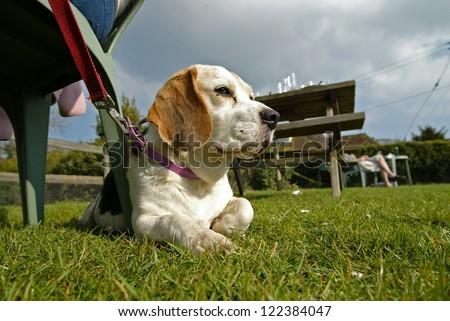 Dog Relaxing in Beer Garden - stock photo