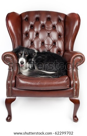 dog resting in a leather armchair - stock photo
