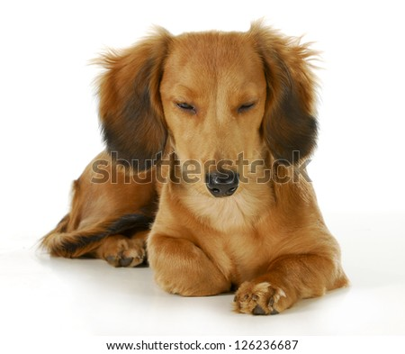 dog resting - long haired miniature dachshund laying down resting isolated on white background - stock photo
