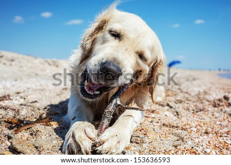 dog retriever  on beach - stock photo