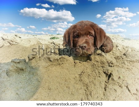 dog retriever on beach - stock photo