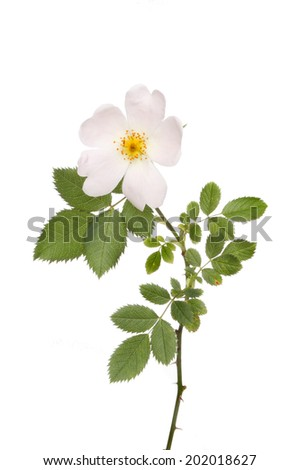 Dog rose flower and foliage isolated against white - stock photo