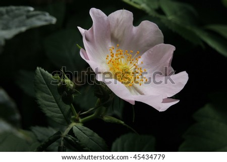 dog rose hip flower on dark background - stock photo