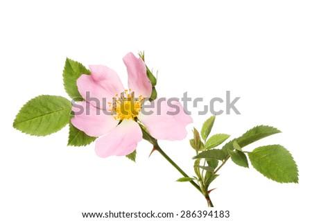 Dog rose, Rosa canina, flower and foliage isolated against white - stock photo