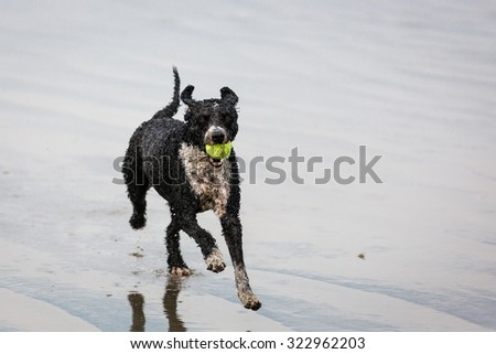 Dog Running and Playing - stock photo