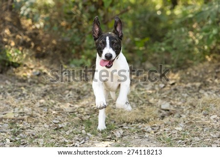 Dog running and playing outdoors with his tongue hanging out. - stock photo