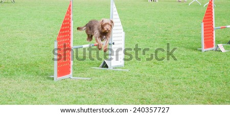 Dog running at agility dog competition - stock photo