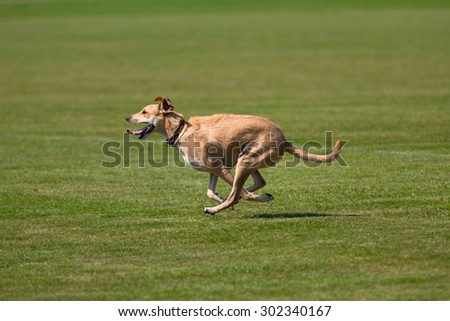 Dog running happily across green lawn - stock photo