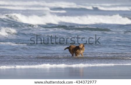Dog running in surf on Morro Bay California - stock photo