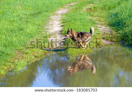 Dog running on the road near puddle - stock photo