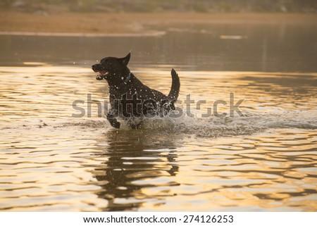 dog running through water - stock photo