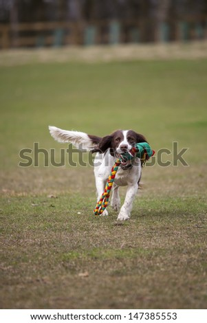 dog running with toy - stock photo