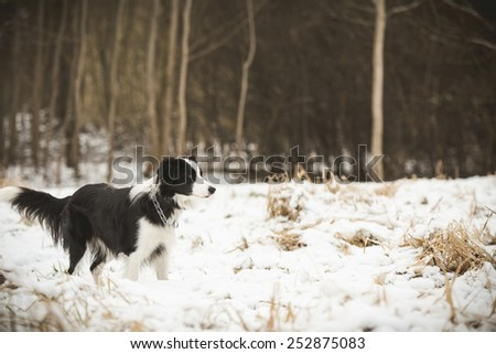 dog runs on winter field - stock photo