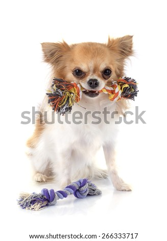 dog's toy and chihuahua in front of white background - stock photo
